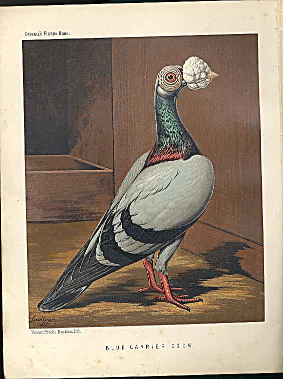 Print Blue Carrier Cock Pigeons C1880 Fulton 469171 Old Original