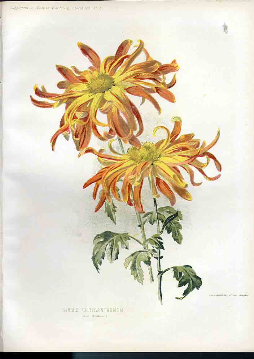 Print Single Chrysanthemium Amateur Gardening 069181 Old Original