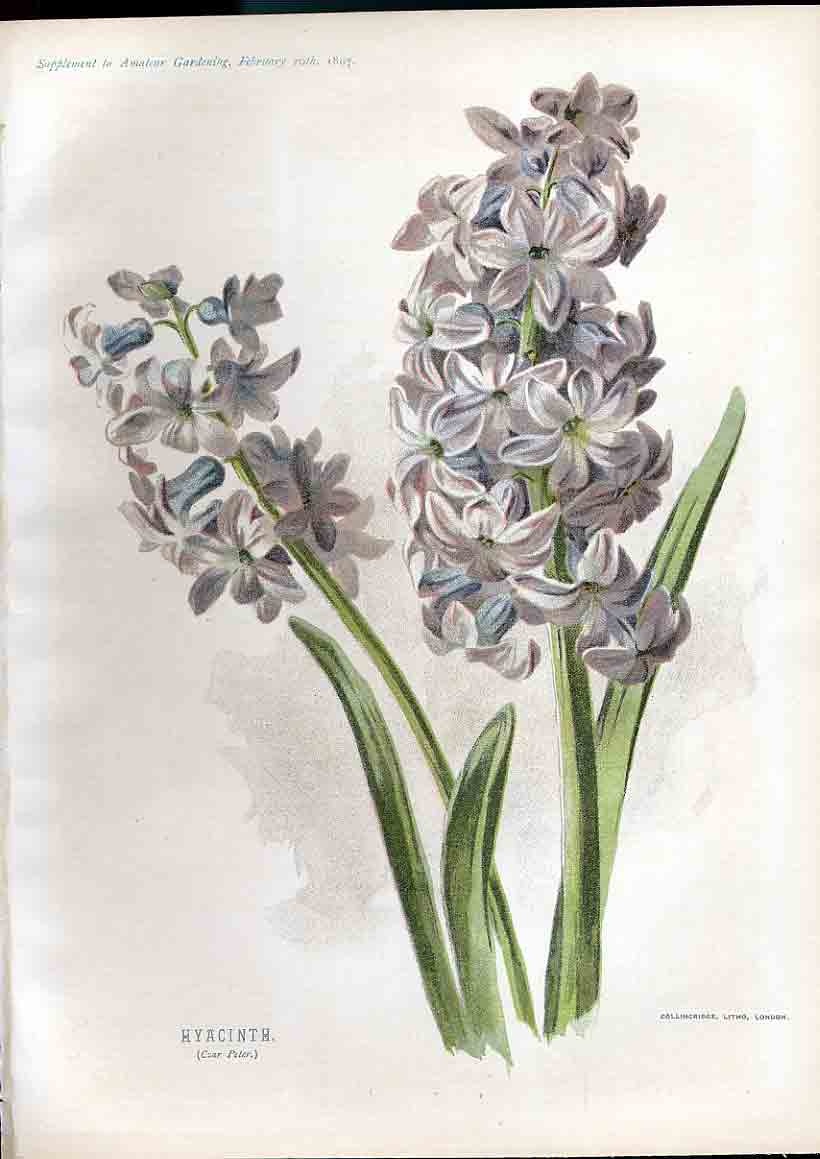 Print Hyacinth Amateur Gardening 1897 089181 Old Original
