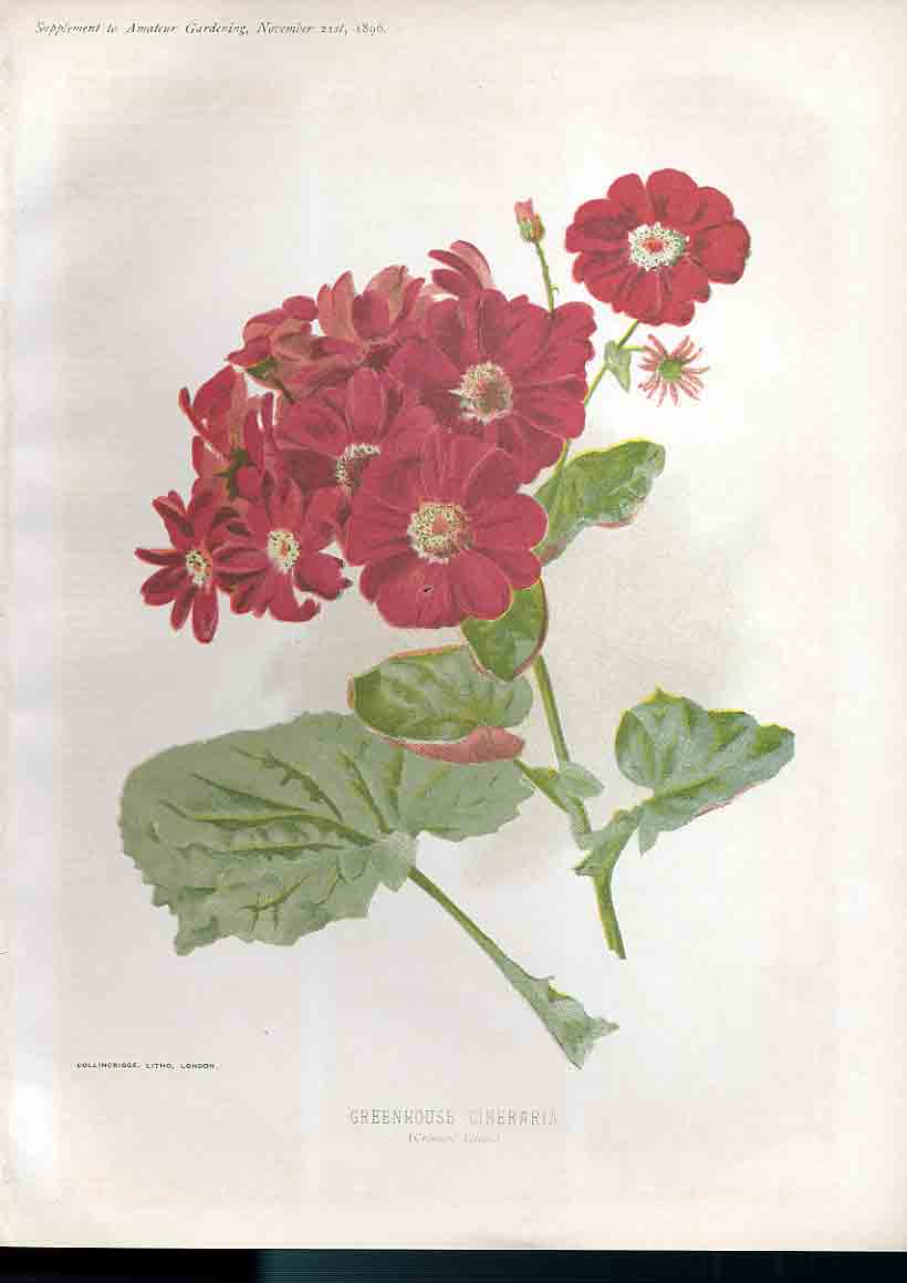 Print Greenhouse Cineraria Amateur Gardening 209181 Old Original