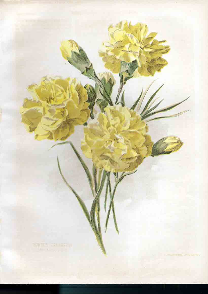Print Border Carnation Amateur Gardening 1897 259181 Old Original