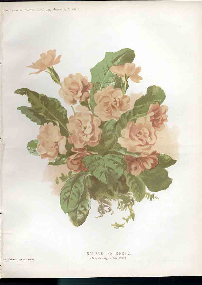Print Double Primrose Amateur Gardening 1897 319181 Old Original