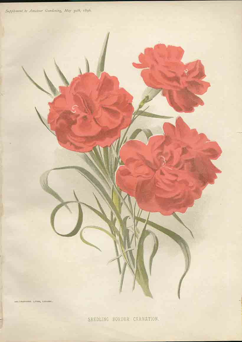 Print Seedling Border Carnation Amateur Gardening 1897 389181 Old Original