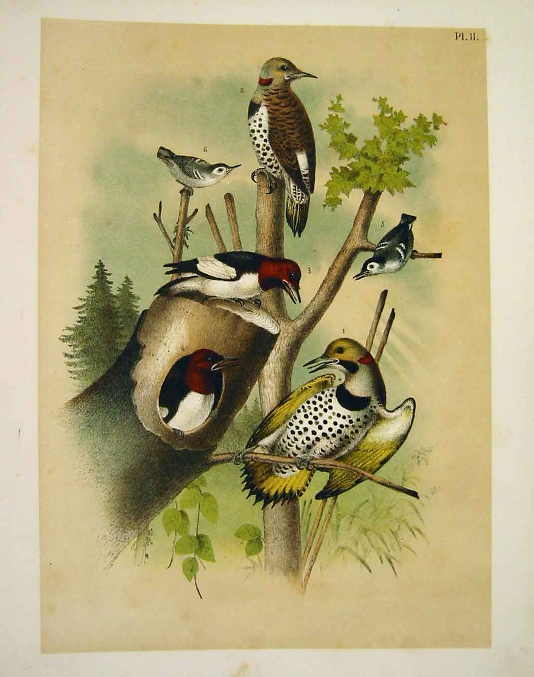 Print Woodpeckers Nuthatch Struder Jasper Birds America 1878 029201 Old Original