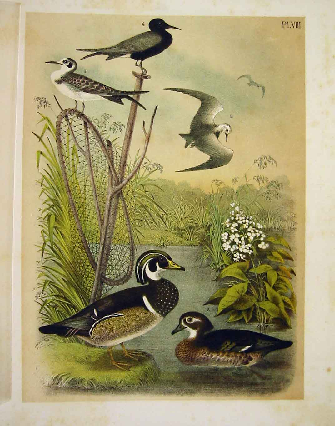 Print Summer Duck Terns Jasper Birds America 1878 089201 Old Original