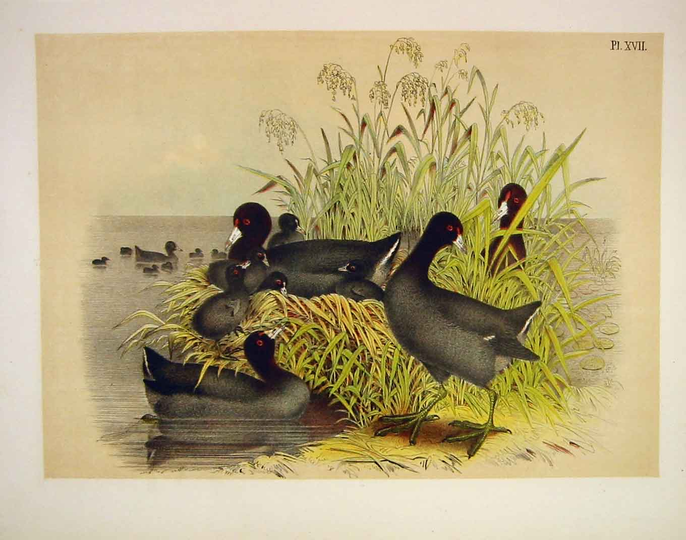 Print The Cinerous Coot Jasper Birds America 1878 179201 Old Original