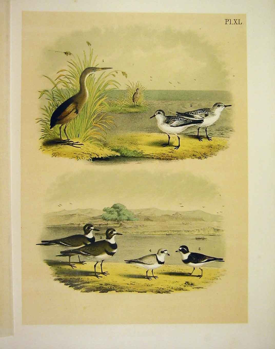 Print 5 Ploves From Studer Jasper Birds America 1878 409201 Old Original
