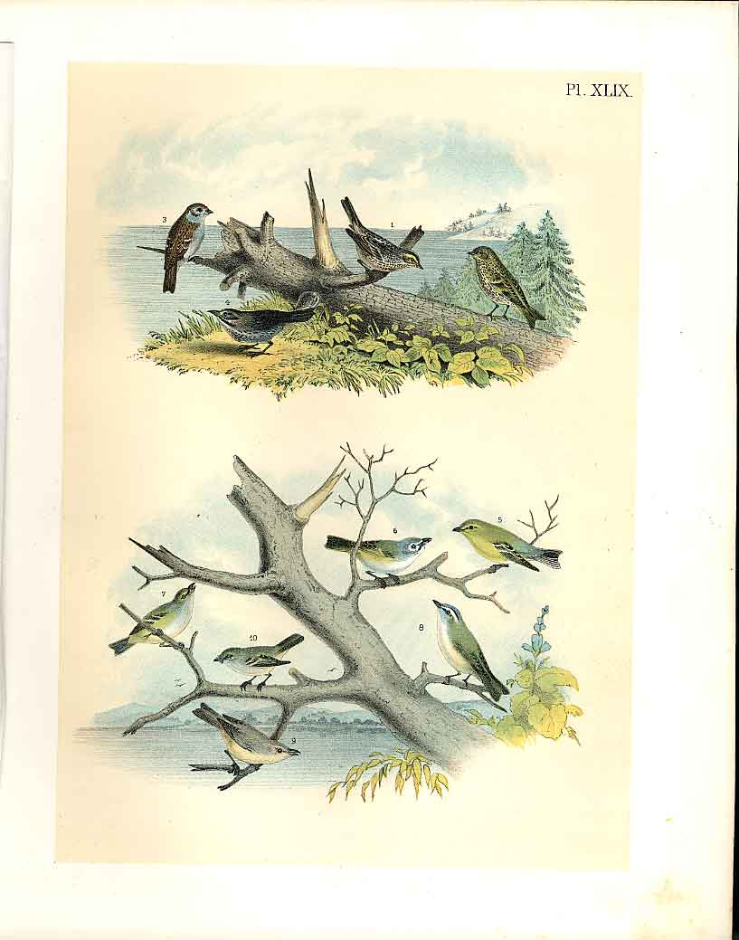 Print 10 Sparrow Finch Vireo Jasper Birds America 1878 499201 Old Original