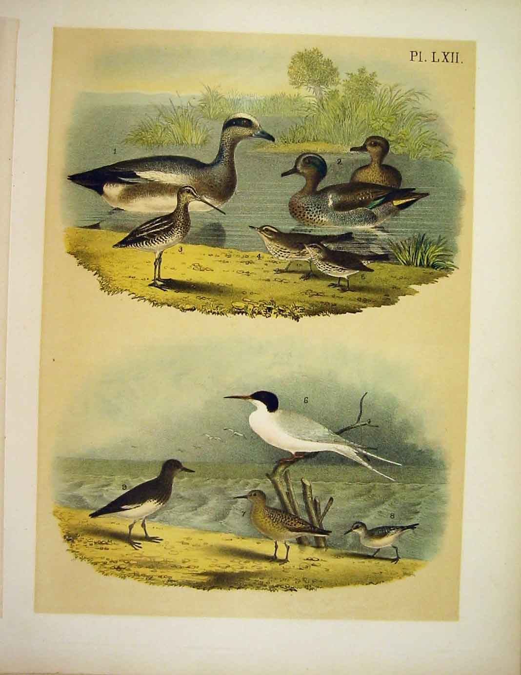 Print Widgeon Teal Snipe Thrush Turnstone Birds America 629201 Old Original