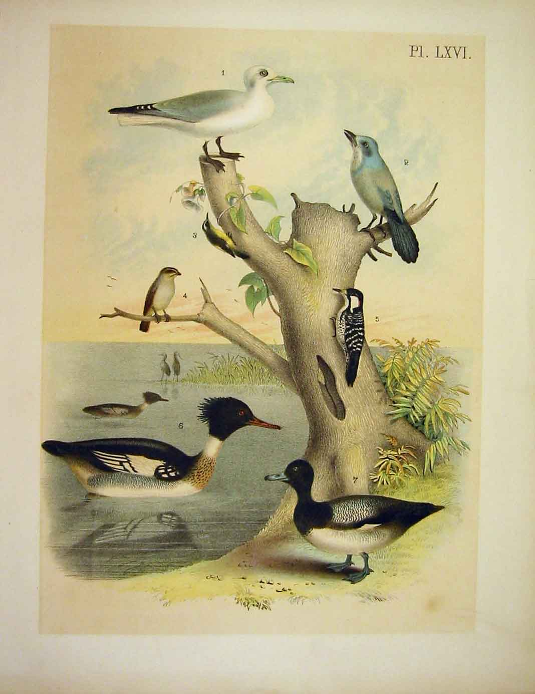 Print Florida Jay Bahama Creeper Jasper Birds America 1878 669201 Old Original