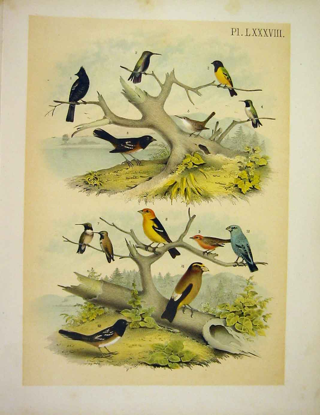 Print 12 Unique Birds Studer-Jasper Birds Of America 1878 889201 Old Original