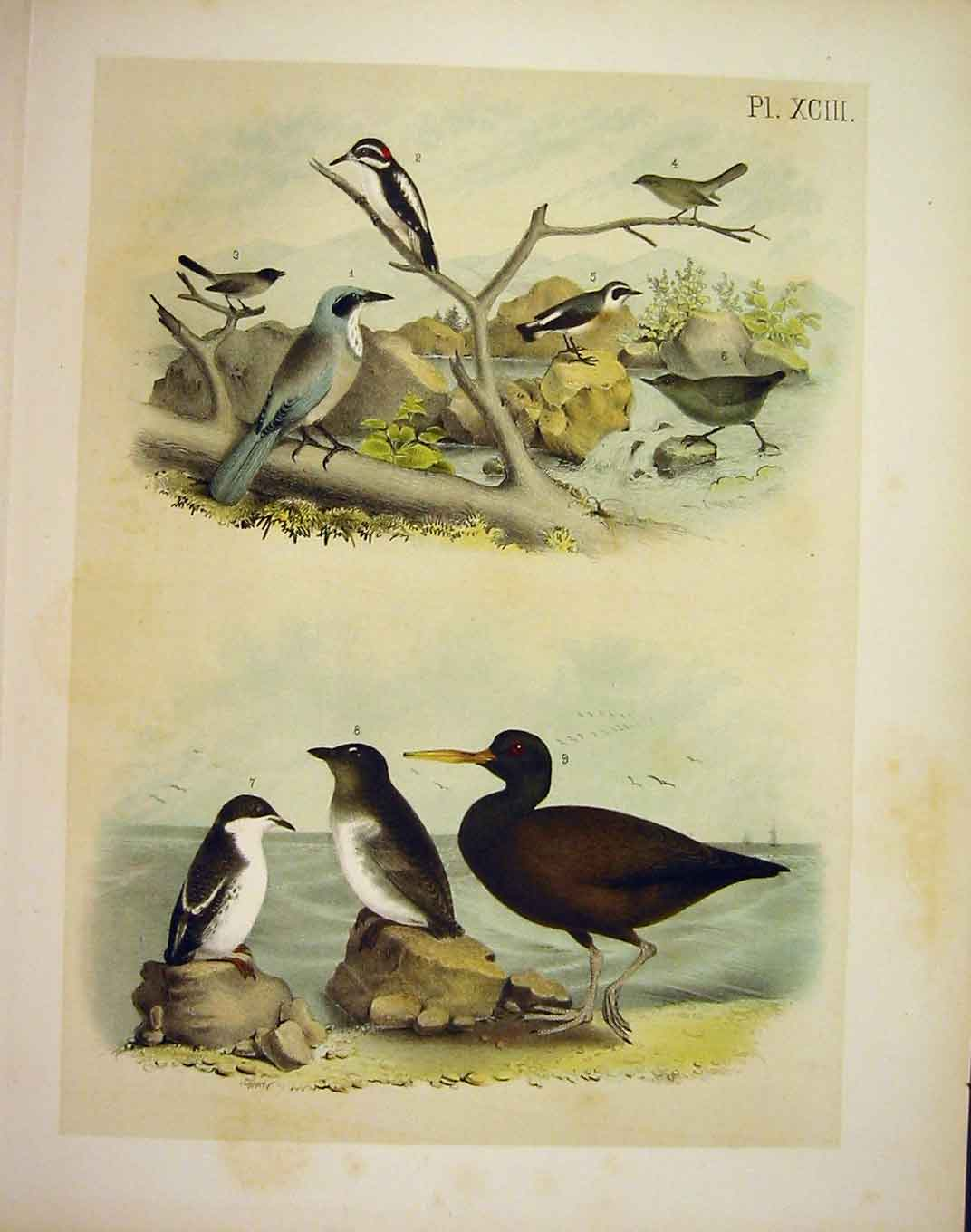 Print Jay Auk Woodpecker 9 Jasper Birds America 1878 939201 Old Original