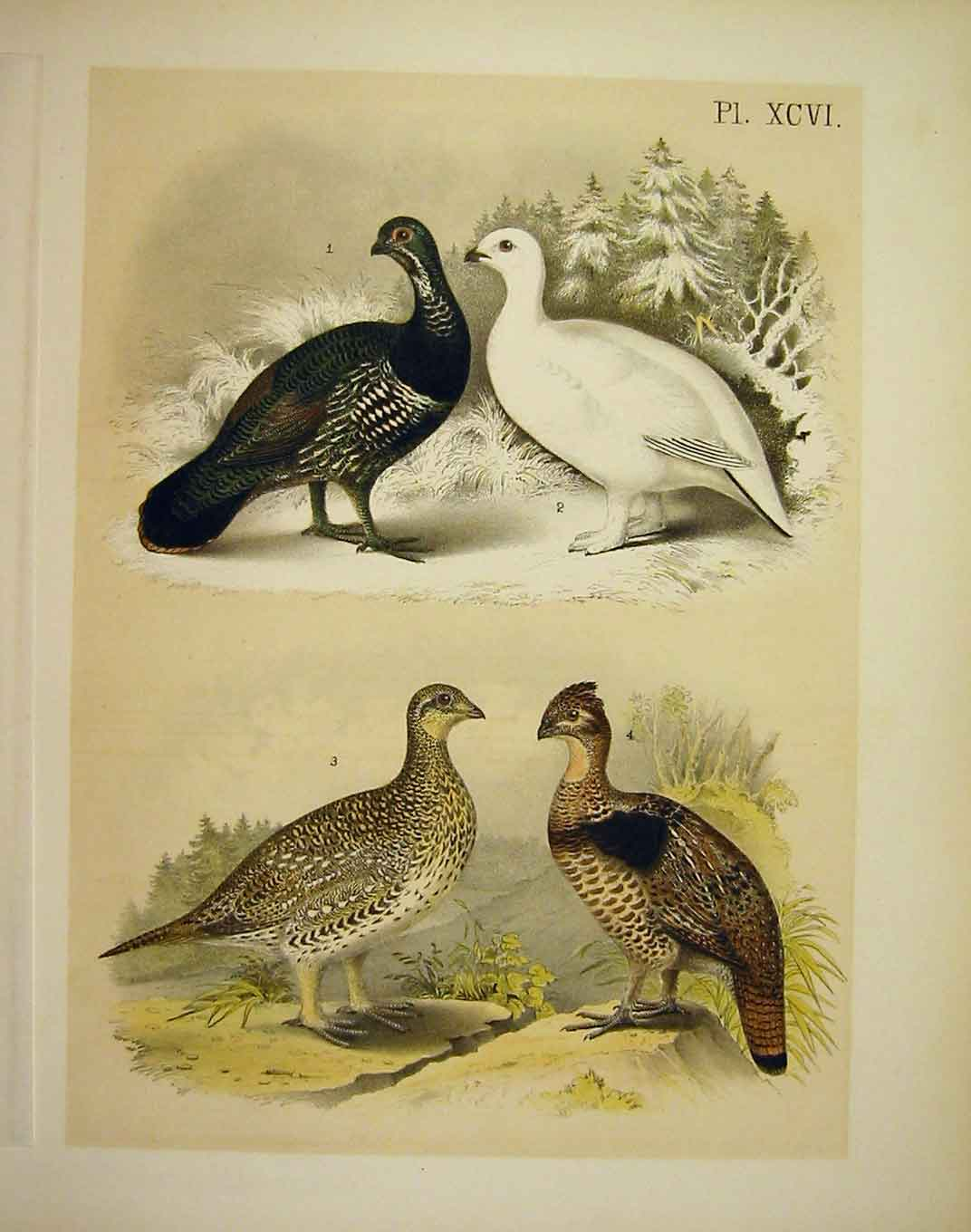 Print 4 Grouse Studer-Jasper Birds America 1878 969201 Old Original