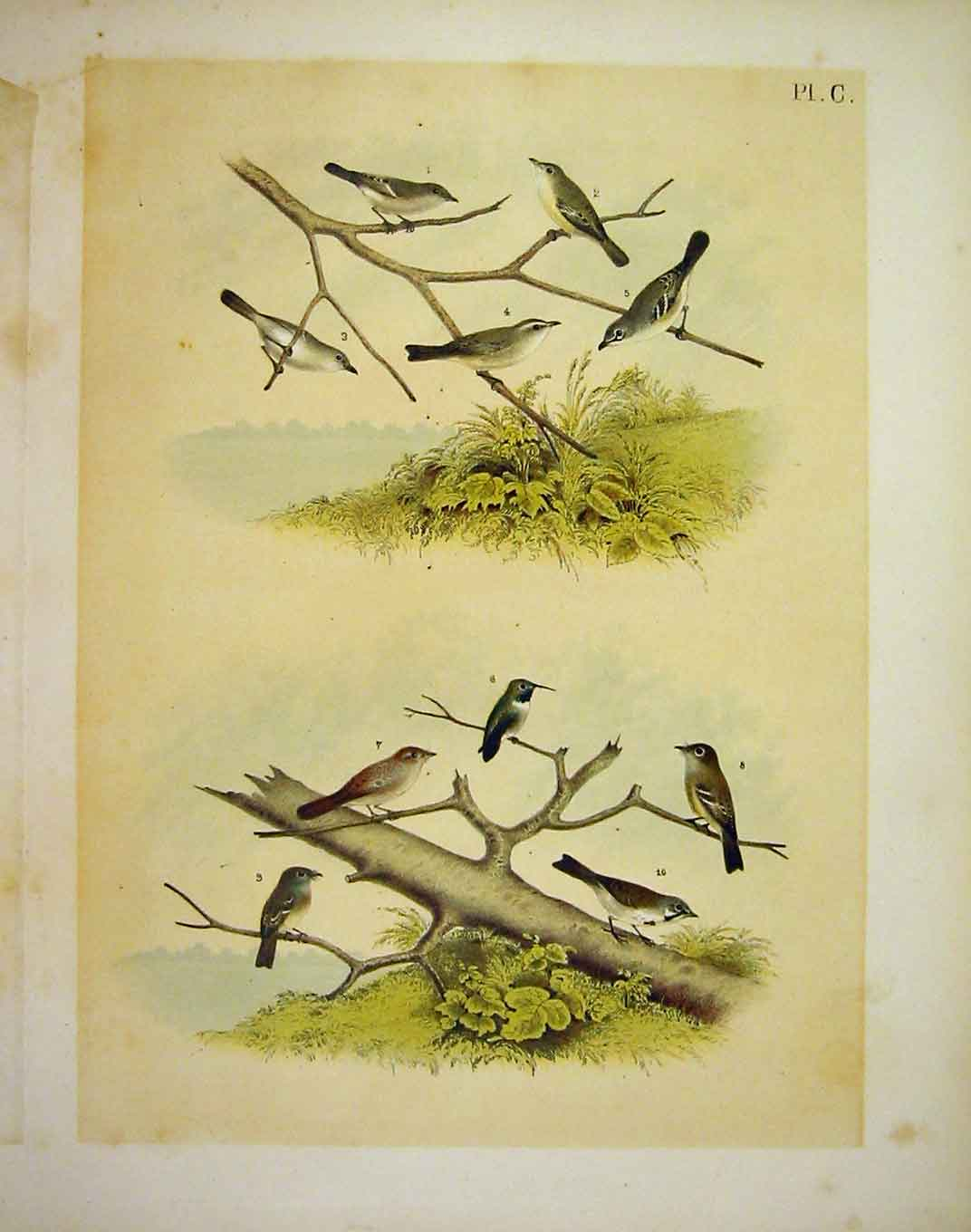 Print 10 Vireo & Finch Studer-Jasper Birds Of America 1878 009201 Old Original