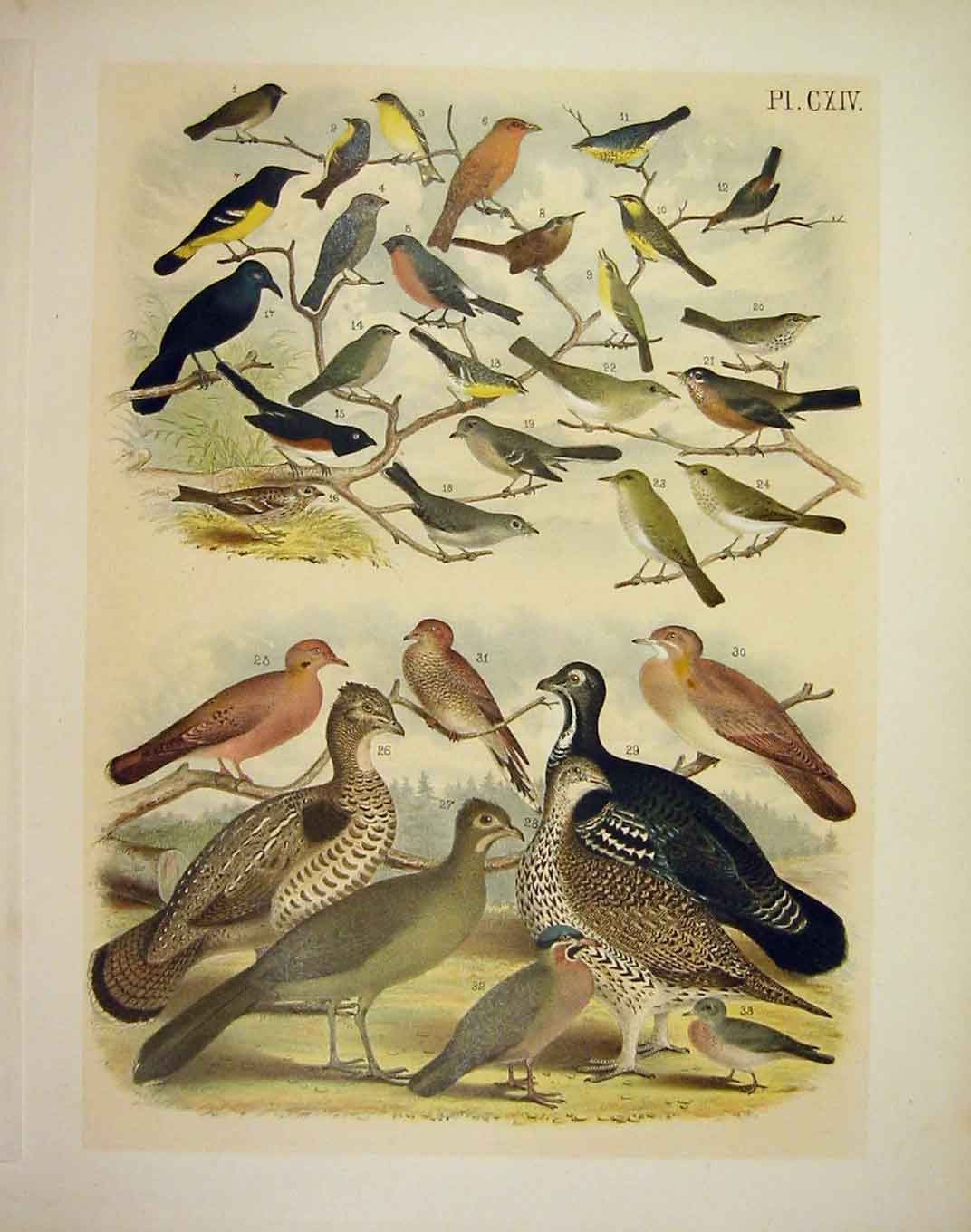 Print 33 Finch Warbler Grouse Dove Pigeon 1878 American Birds 149201 Old Original
