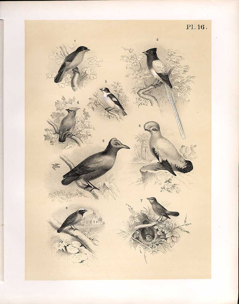 Print 8 Birds 1878 Jasper Nightingale Red Start Waxwing Flyca 169210 Old Original