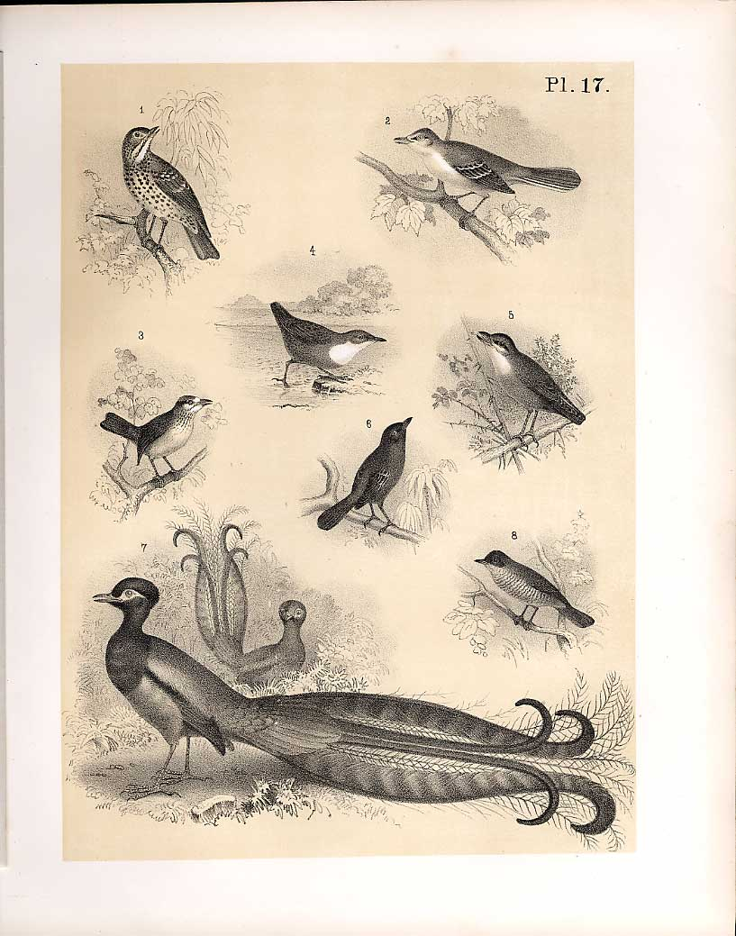 Print 8 Birds 1878 Jasper Sparrow Hawk Thrush Mocking Bird 179210 Old Original