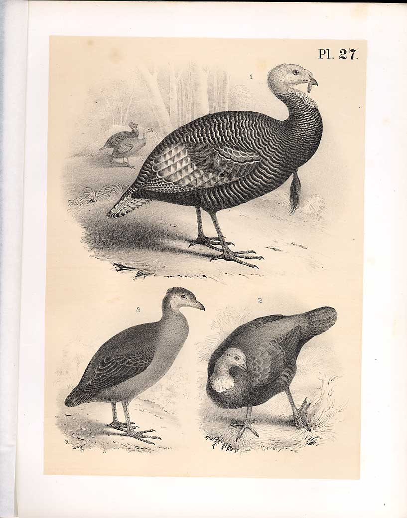 Print Turkey Great Footed Hen Science Birds 1878 Jasper 279210 Old Original