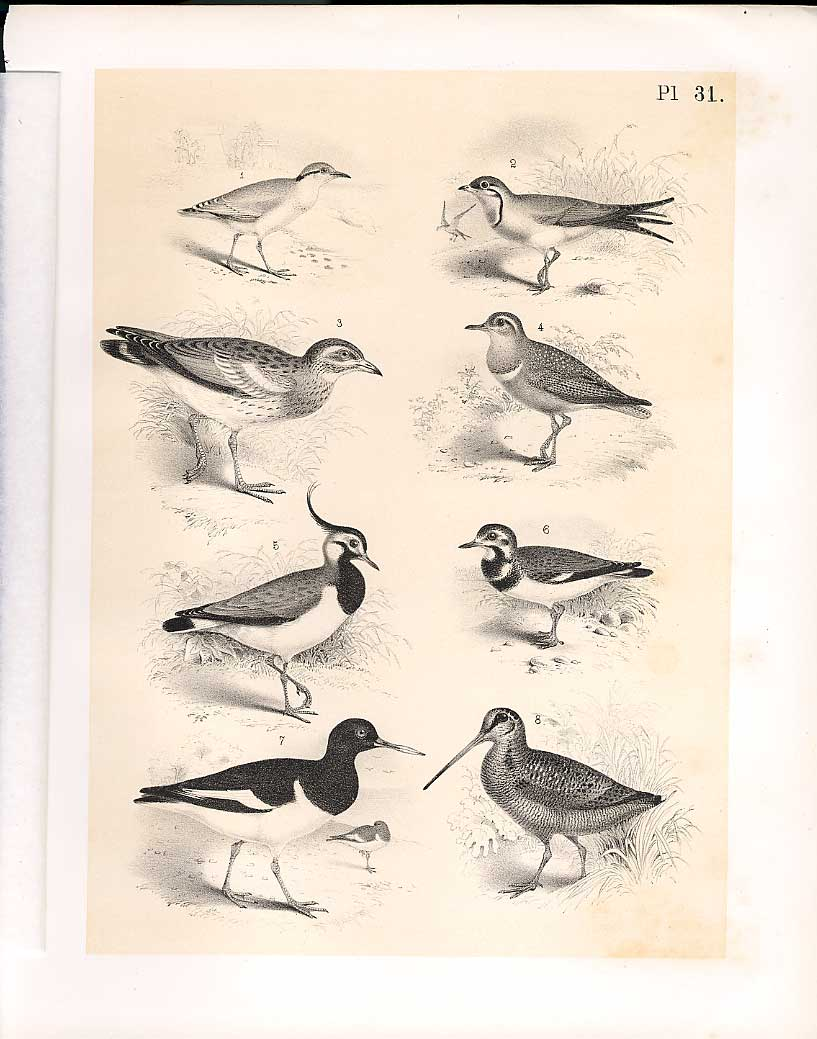 Print 8 Birds From Science Birds 1878 Jasper Swallow Plove 319210 Old Original