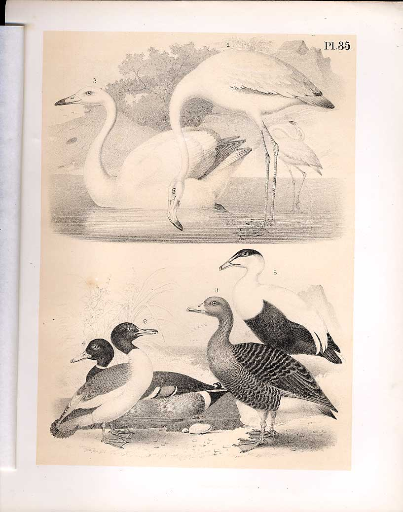 Print Flamingo Swan Goose Eider Science Birds 1878 Jasper 359210 Old Original