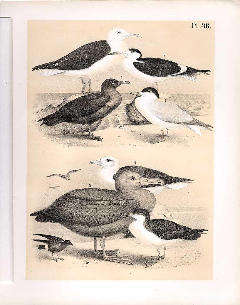 Print Tern Albatross Skua Science Birds 1878 Jasper 369210 Old Original