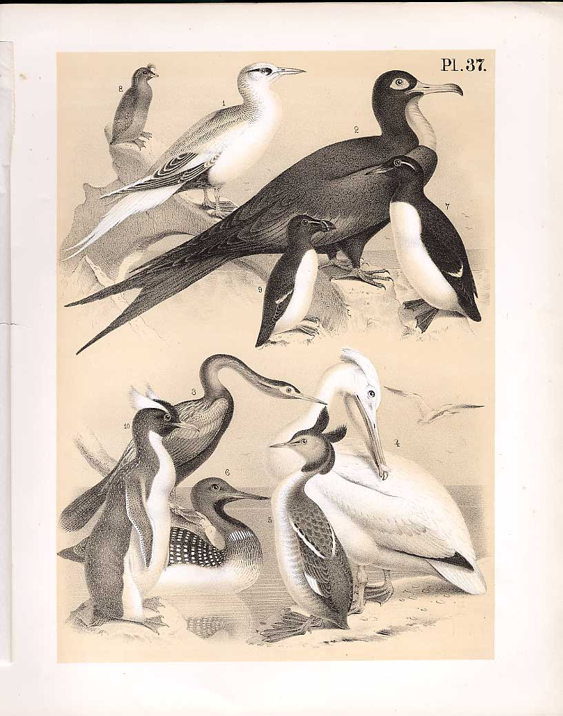 Print Tropic Man War Snake Bird Pelican Greebe Auk 379210 Old Original