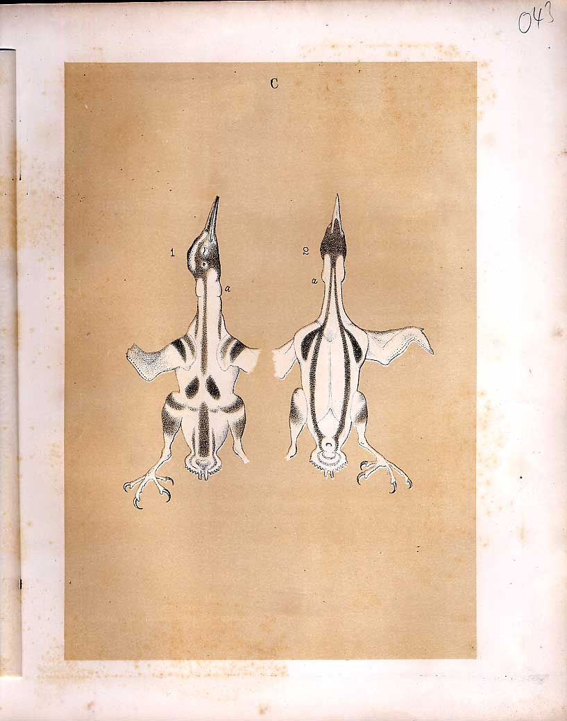 Print Bird Anatomny Science Birds 1878 Jasper 439210 Old Original