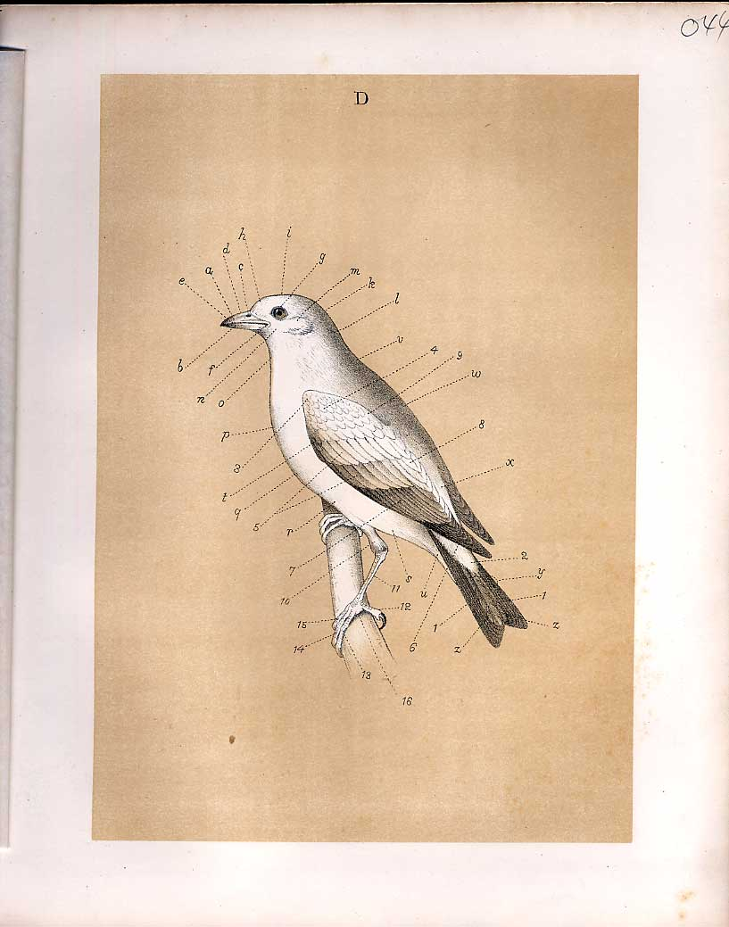 Print Parts Birds From Science Birds 1878 Jasper 449210 Old Original