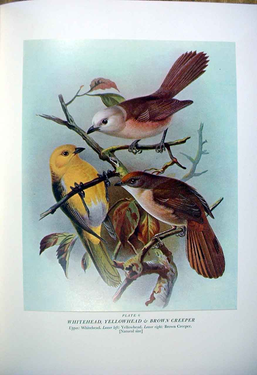 [Print Whitehead Yellowhead & Buller'S Birds New Zealand 0069A31 Old Original]