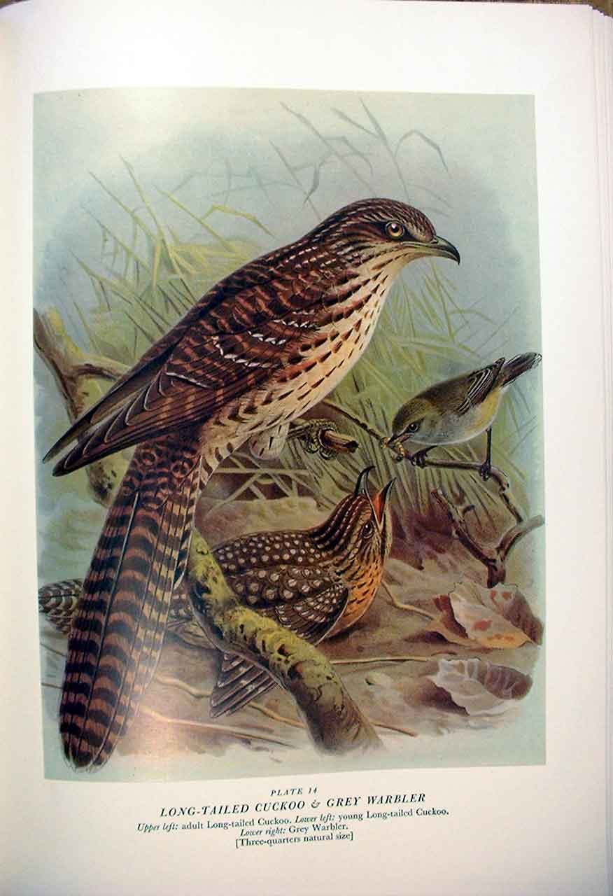 [Print Cuckoo & Warbler Buller'S Birds New Zealand 0149A31 Old Original]