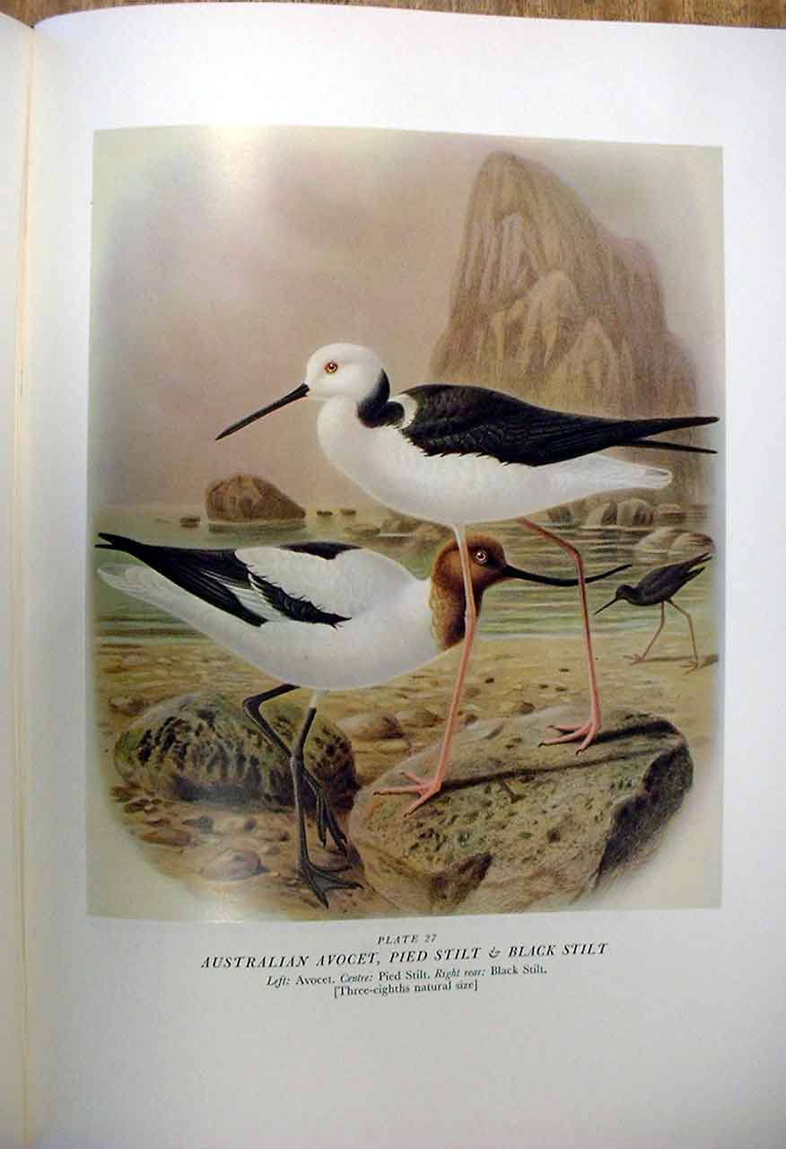 [Print Avocet & Stilt Buller'S Birds New Zealand 0A279A31 Old Original]