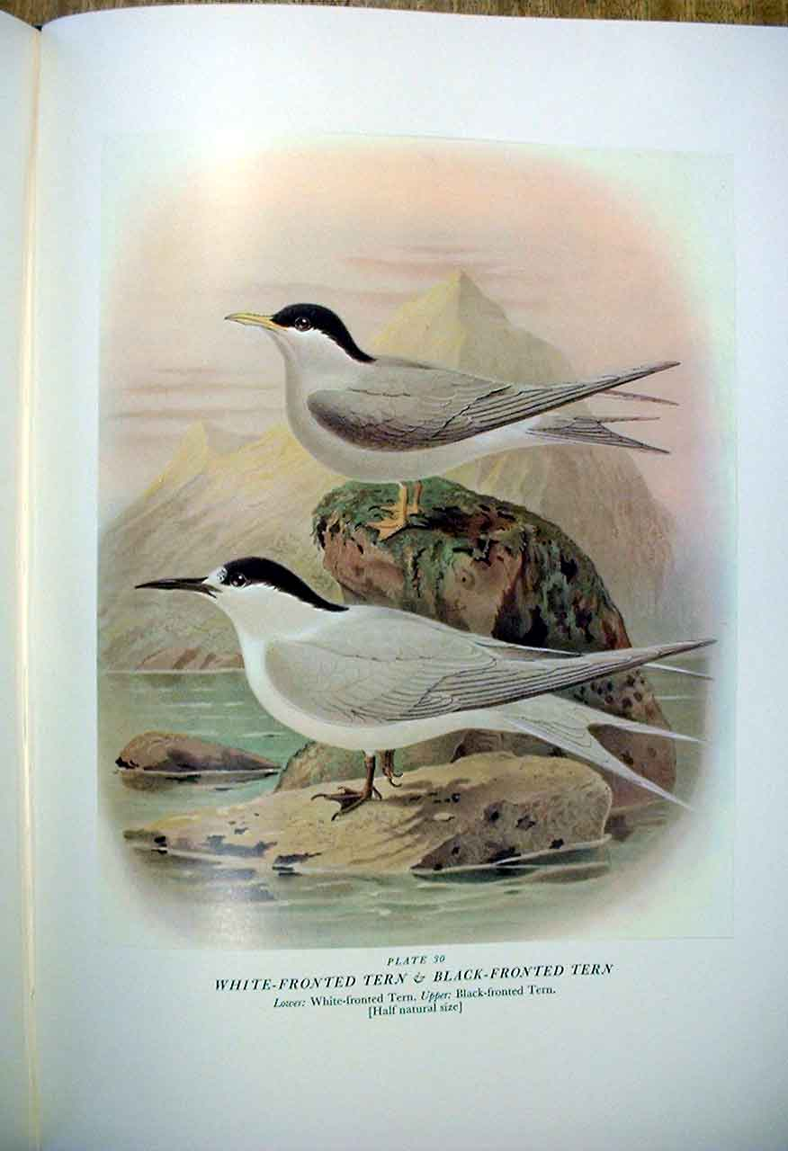[Print White Front Tern & Buller'S Birds New Zealand 0A309A31 Old Original]
