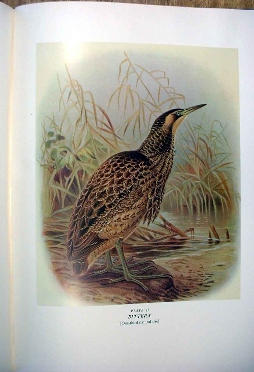 [Print Bittern Buller'S Birds New Zealand 0A379A31 Old Original]