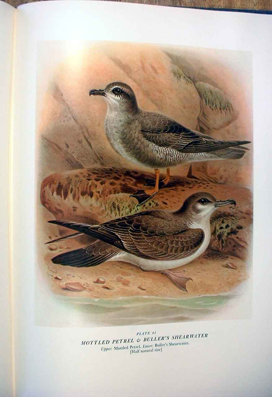 [Print Mottled Petrel Buller'S Birds New Zealand 0419A31 Old Original]