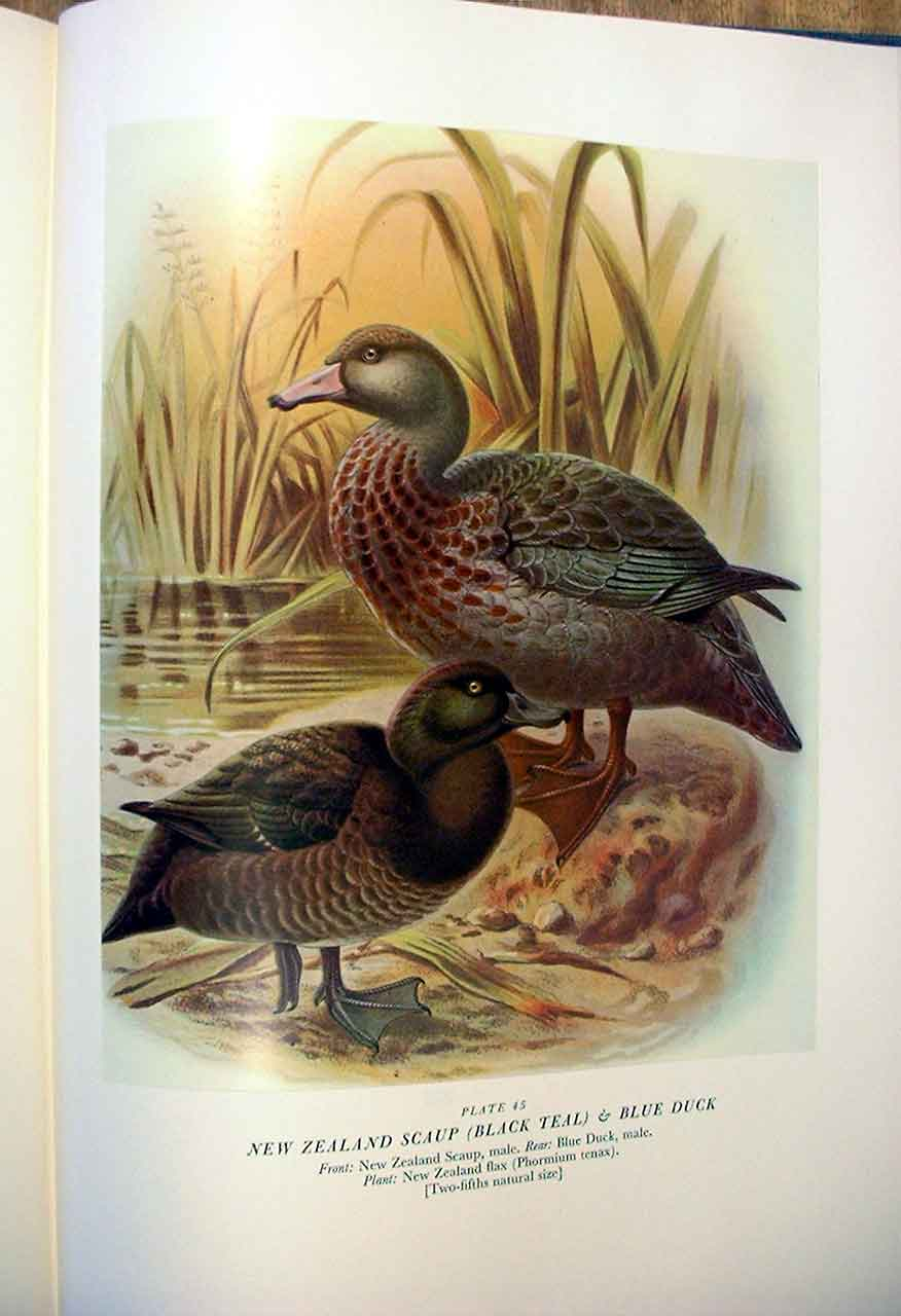 [Print N Z Scaup Buller'S Birds New Zealand 0459A31 Old Original]