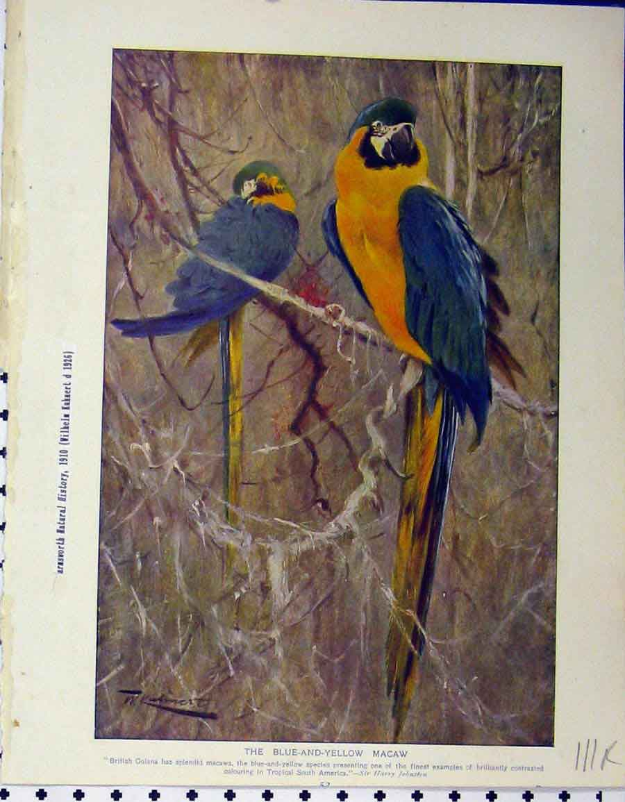 Print 1926 Blue Yellow Macaw Duckbill Australia 111A120 Old Original