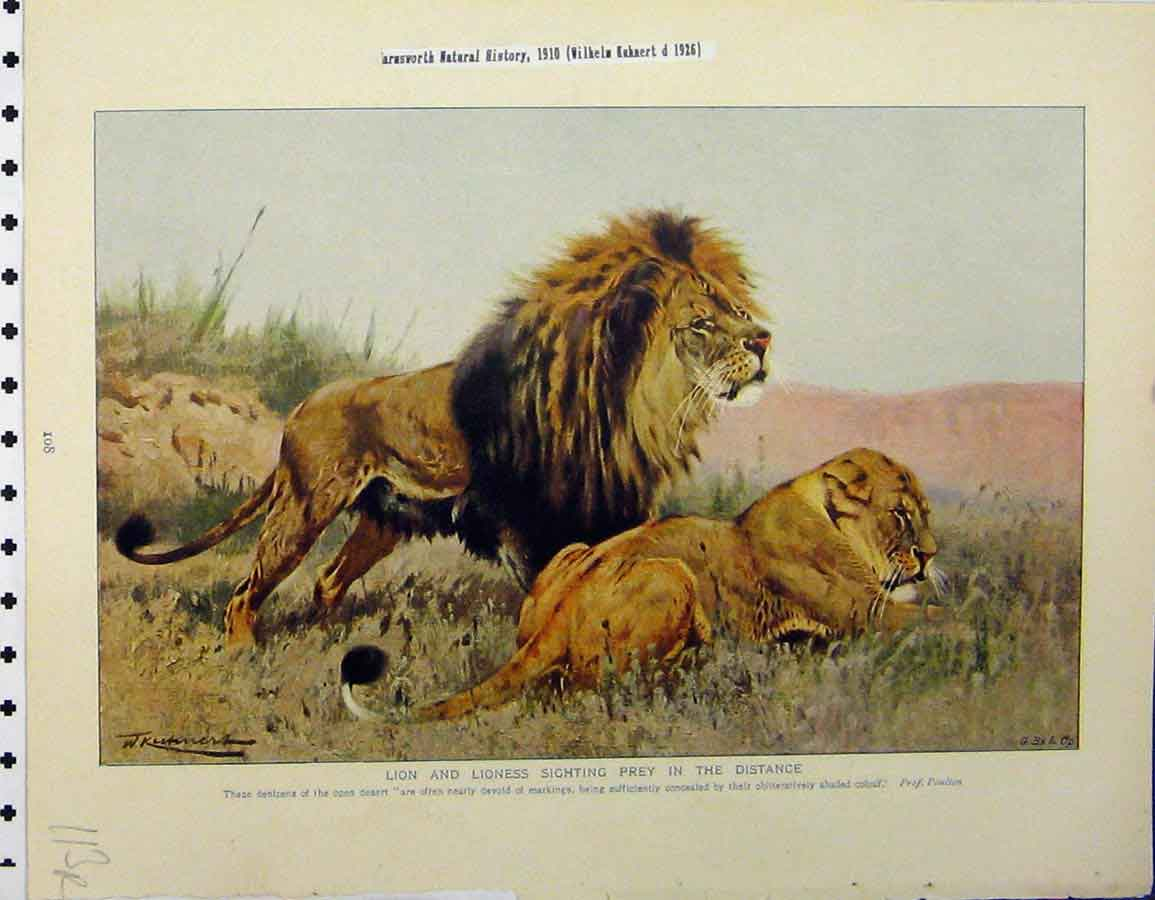 Print Lion Lioness Sighting Prey 1926 Butterflies Insects 113A120 Old Original