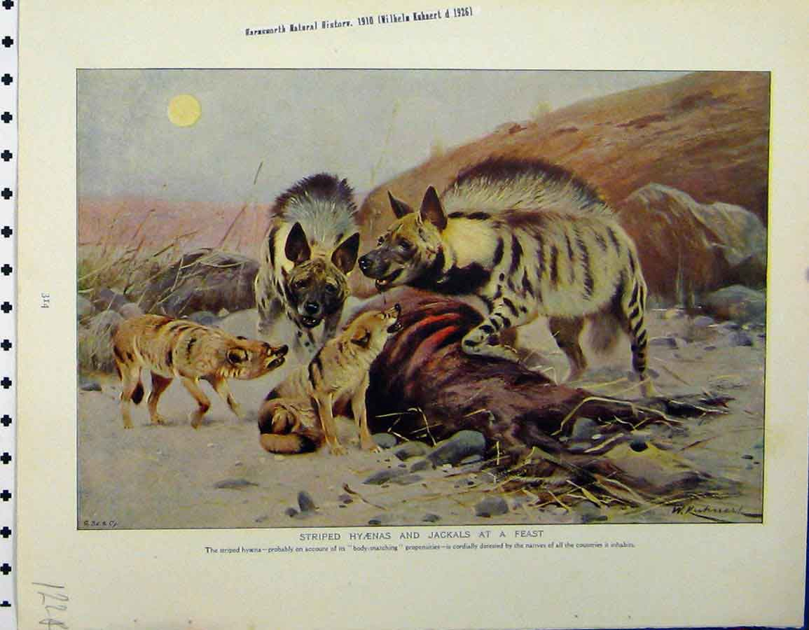 Print 1926 Striped Hyaenis Jackals Banded Mungoose 122A120 Old Original