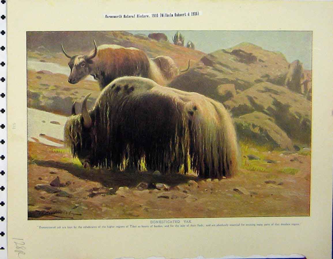 Print Domesticated Yak 1926 Harvest Mice Natural History 128A120 Old Original