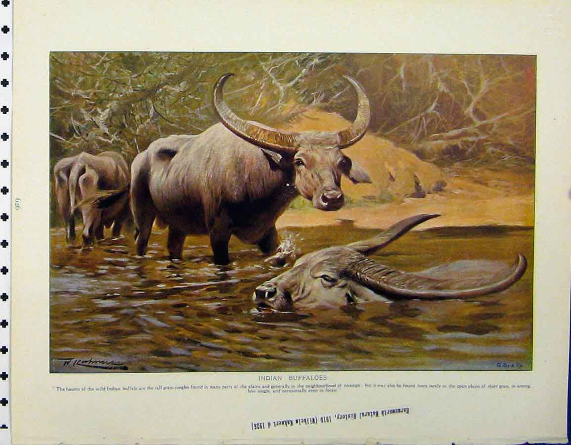 Print Indian Buffaloes Water 1926 Highland Cattle 129A120 Old Original