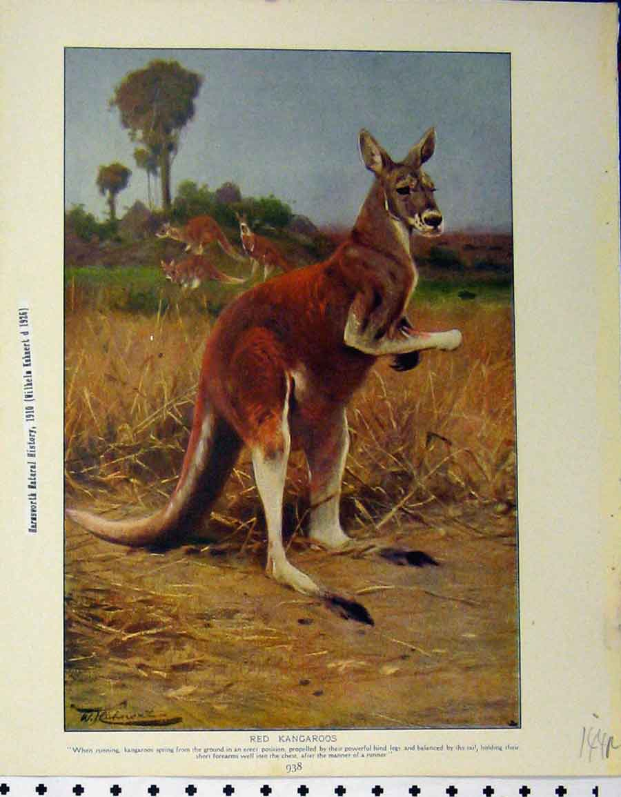 Print 1929 Red Kangaroos Great Ant Eater Animals 144A120 Old Original