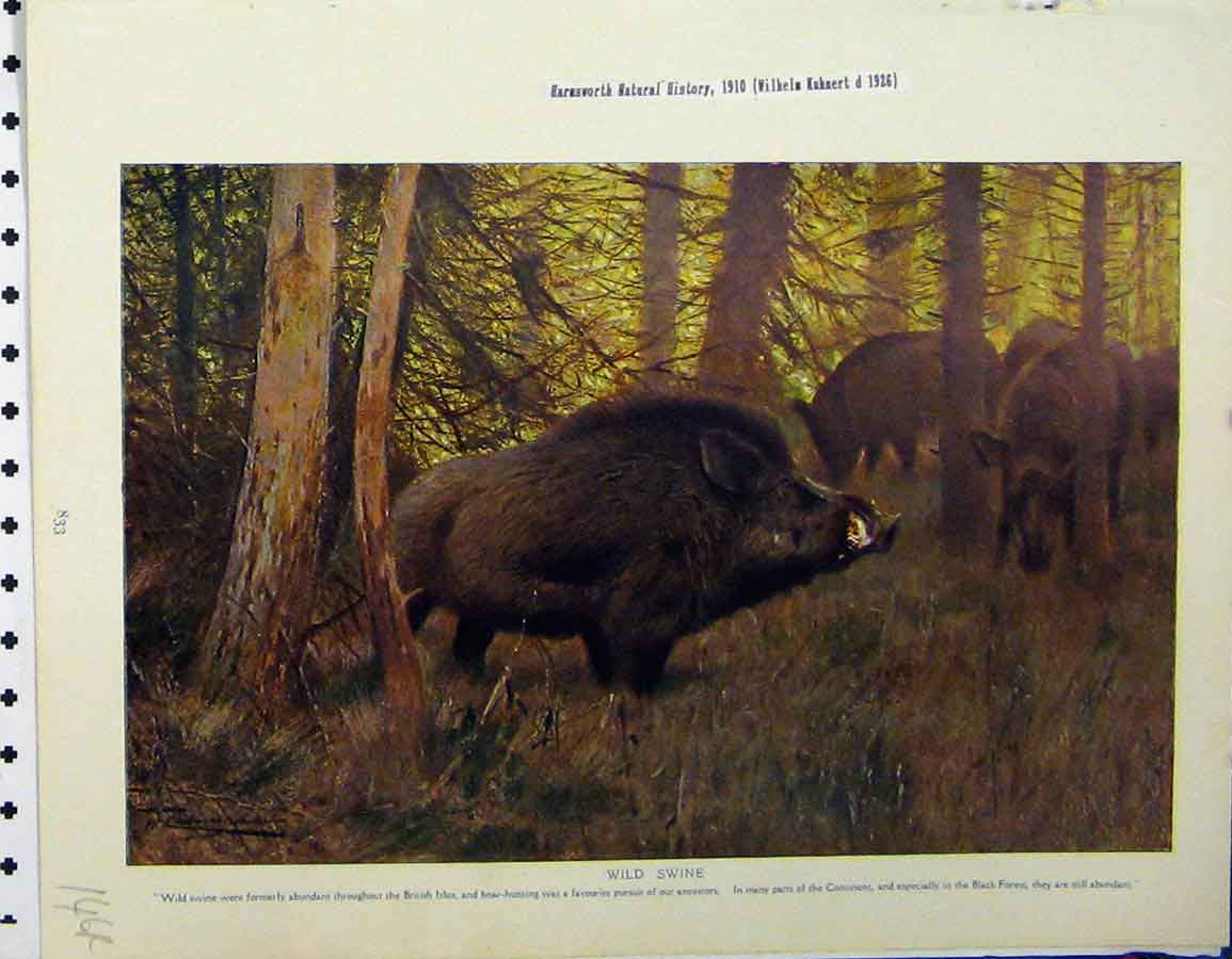 Print 1926 Wild Swine Country River Hogs Natural History 146A120 Old Original