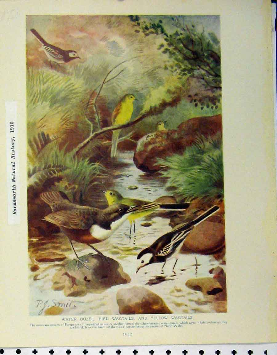 Print Water Ouzel Pied Wagtails 1910 Wheater Stonechat 156A120 Old Original