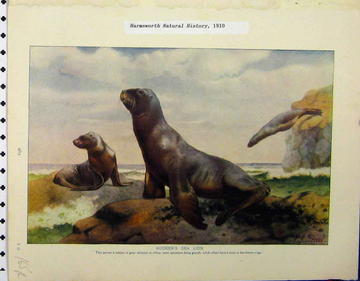 Print 1910 Hookers Sea Lion White Nosed Coatis Animals 165A120 Old Original