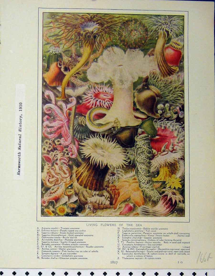 Print Living Flowers Sea 1910Panopyra Maculata Myzonema 166A120 Old Original
