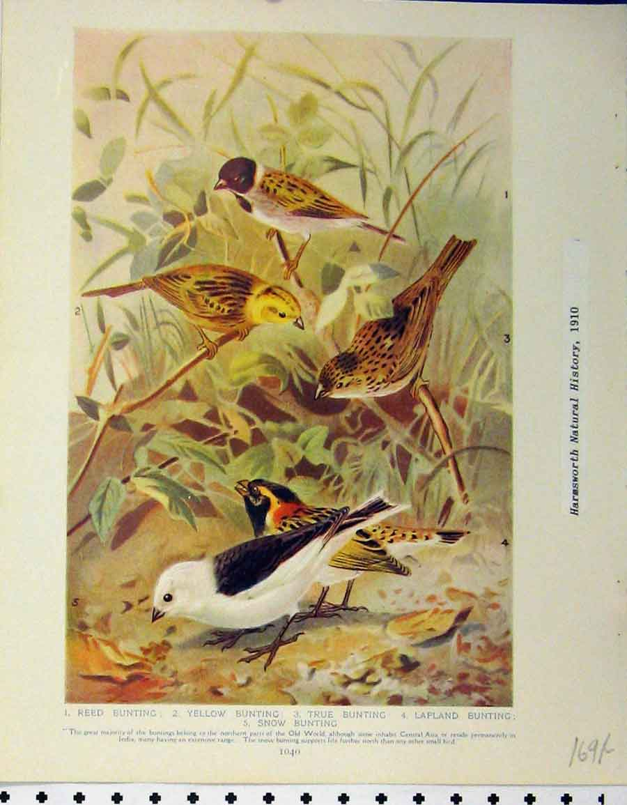 Print 1910 Birds Lapland Reed Bunting Desert Finches Larks 169A120 Old Original