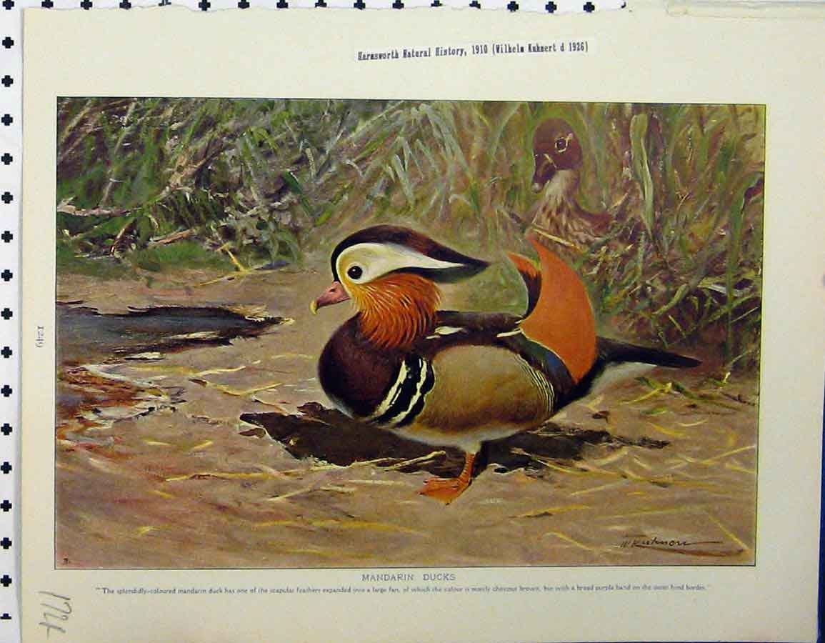 Print 1926 Mandarin Ducks Night-Herons Whale-Headed Stork 172A120 Old Original
