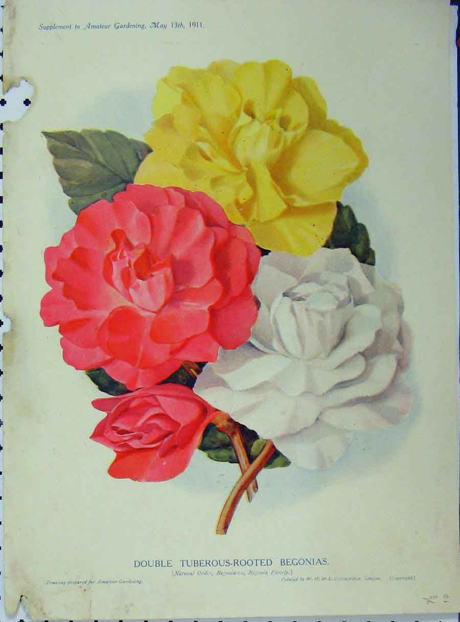 Print 1911 Double Tuberous-Rooted Begonias Flowers 102A121 Old Original