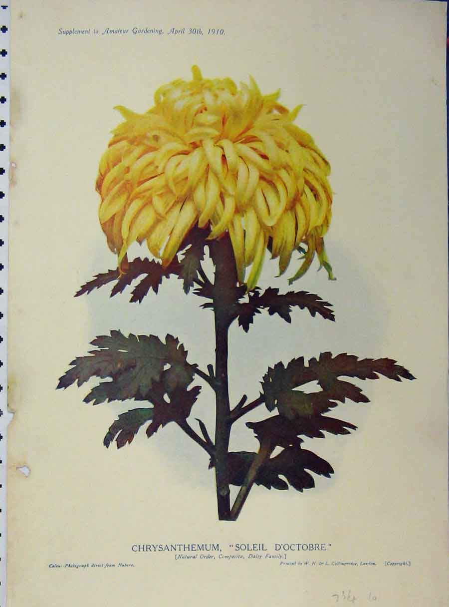 Print 1910 Chrysanthemum Soleil D'Octobre Flowers 104A121 Old Original