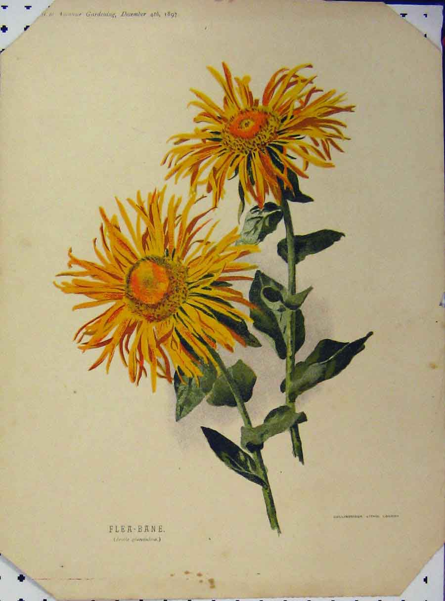 Print 1897 Flea-Bane Yellow Flower Green Leaves 108A121 Old Original